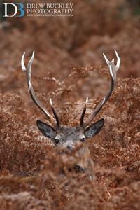 Red Deer Stag ~ Cervus Elaphus