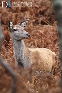 Red Deer Hind ~ Cervus Elaphus