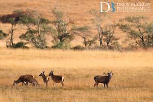 Red Deer Stag Roaring & Harem ~ Cervus Elaphus