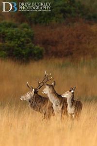 Red Deer Stag & Harem ~ Cervus Elaphus